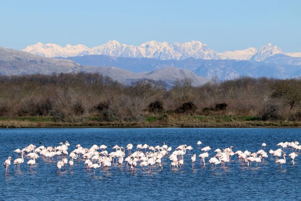 розовые фламинго на Скадарском озере Черногория