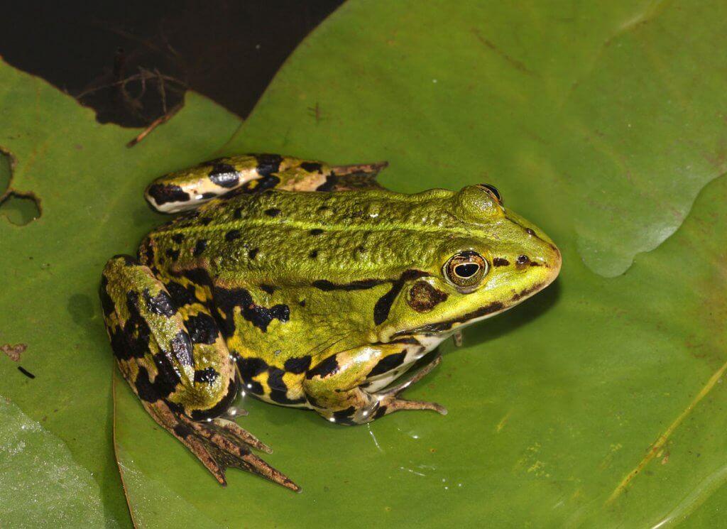 европейская жаба