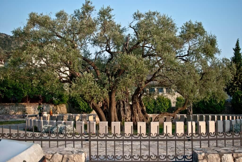 старые маслины Черногории