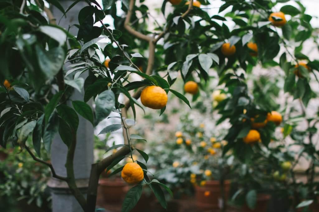 мандарины в Черногории