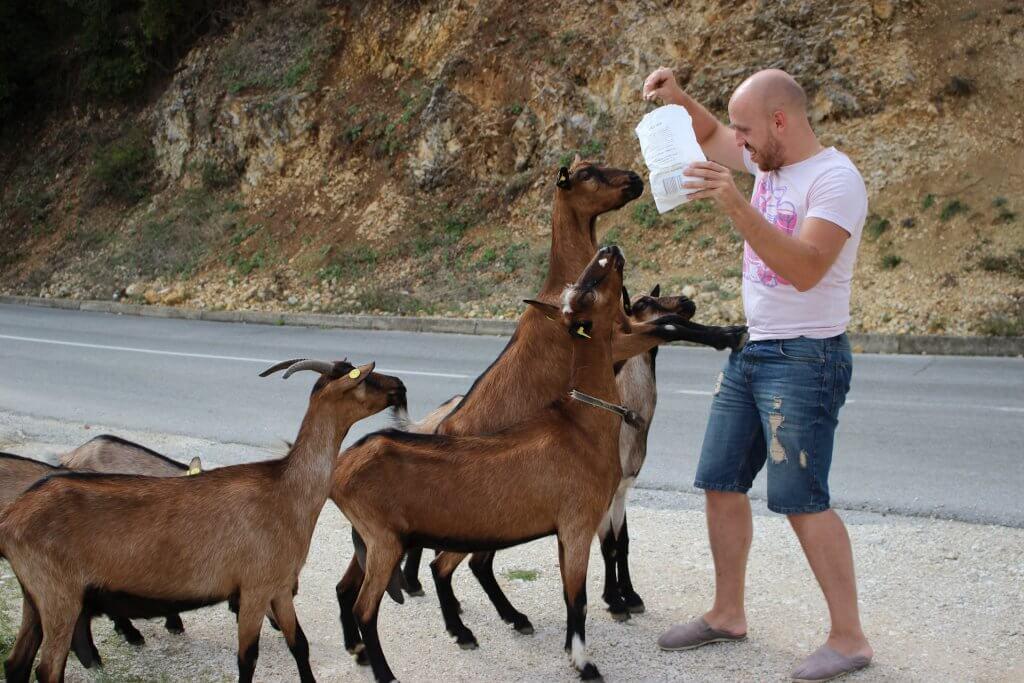 голодные козы