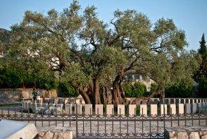 Старая маслина